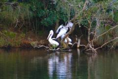 Pelicans in Australia